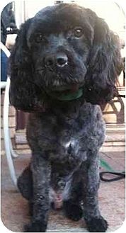 Cockapoo Dog for adoption in Flushing, New York - Jazz