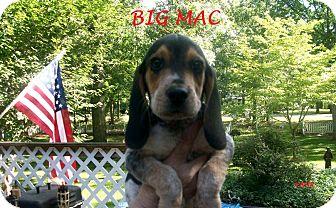 Beagle Puppy for adoption in Ventnor City, New Jersey - BIG MAC