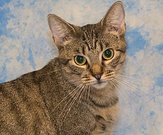 Domestic Shorthair Cat for adoption in Elmwood Park, New Jersey - Hannah