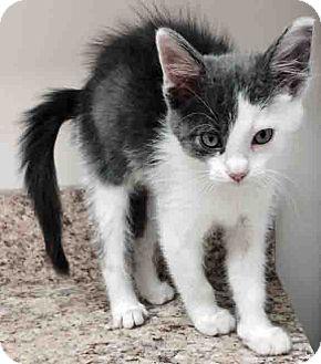Domestic Mediumhair Kitten for adoption in Gahanna, Ohio - Luke