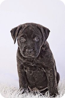 American Staffordshire Terrier/Chow Chow Mix Puppy for adoption in West Allis, Wisconsin - John Coffey - Adoption Pending