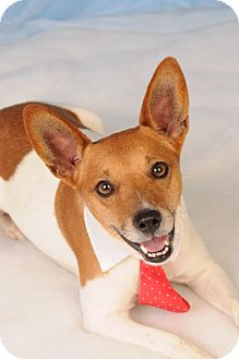Jack Russell Terrier/Fox Terrier (Toy) Mix Dog for adoption in mishawaka, Indiana - Domino