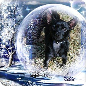 Chihuahua Mix Dog for adoption in Crowley, Louisiana - Nikki