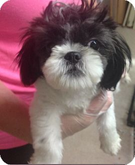 Shih Tzu Mix Puppy for adoption in Pompton Lakes, New Jersey - Cupcake