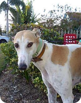 Greyhound Dog for adoption in Aurora, Ohio - Johnny