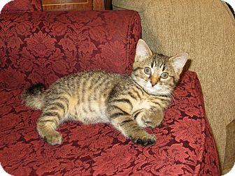 Domestic Shorthair Kitten for adoption in Carlisle, Pennsylvania - CoraPENDING