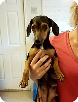 Dachshund Mix Dog for adoption in Fair Oaks Ranch, Texas - Sophia