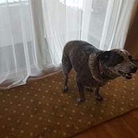 Australian Cattle Dog Dog for adoption in Colorado Springs, Colorado - Roxy
