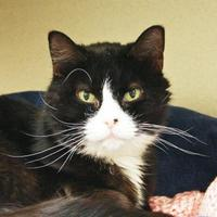 Adopt A Pet :: Papaya - Bellevue, WA
