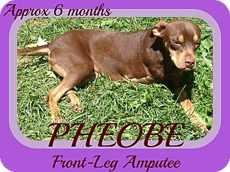 Terrier (Unknown Type, Medium) Mix Dog for adoption in Jersey City, New Jersey - PHEOBE