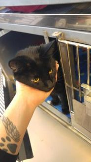 Domestic Shorthair/Domestic Shorthair Mix Cat for adoption in Fond du Lac, Wisconsin - Dinger