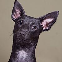 Adopt A Pet :: Hermione - Sudbury, MA