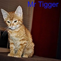 Adopt A Pet :: Mr. Tigger - Woodstock, GA