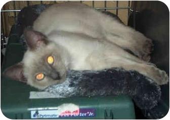 Siamese Kitten for adoption in Miami Beach, Florida - Timmy,FL