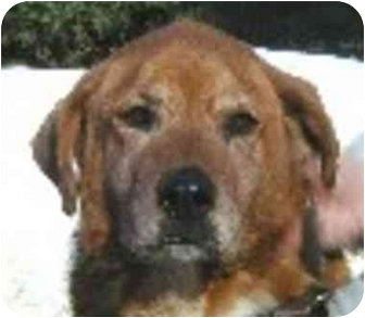 Golden Retriever Dog for adoption in Eatontown, New Jersey - Mitsy