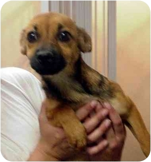 Terrier (Unknown Type, Small) Mix Puppy for adoption in Manassas, Virginia - nazure