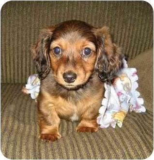 Dachshund Puppy for adoption in Fenton, Missouri - Chip and Dash