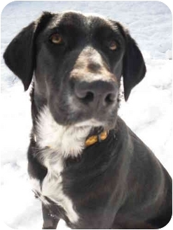 Labrador Retriever Mix Dog for adoption in New Fairfield, Connecticut - Lucy