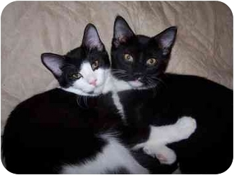 Domestic Shorthair Cat for adoption in Sheboygan, Wisconsin - Jeeves