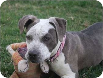 American Pit Bull Terrier/Pointer Mix Puppy for adoption in Bellflower, California - Sage