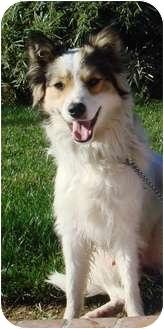 Sheltie, Shetland Sheepdog Mix Dog for adoption in El Cajon, California - Ollie