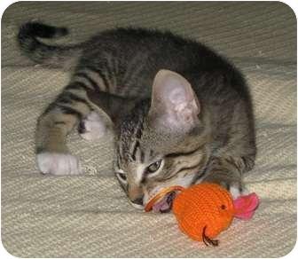 Domestic Shorthair Kitten for adoption in High Ridge, Missouri - Chance