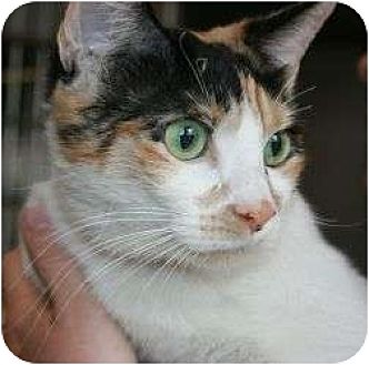 Calico Cat for adoption in Canoga Park, California - Adorable