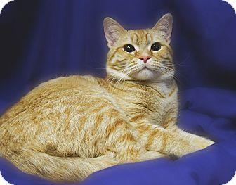 Domestic Shorthair Cat for adoption in Richmond, Virginia - Barnes