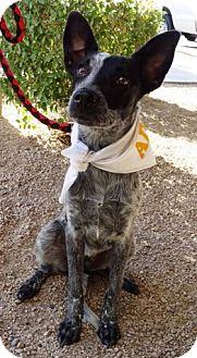 Australian Cattle Dog Mix Puppy for adoption in Phoenix, Arizona - Sammy - Adopting Pending