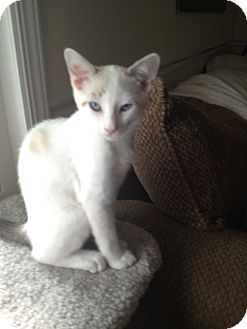 Domestic Shorthair Kitten for adoption in Island Park, New York - Blue