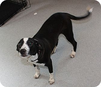 Pointer/Labrador Retriever Mix Puppy for adoption in Homer, New York - Pilo
