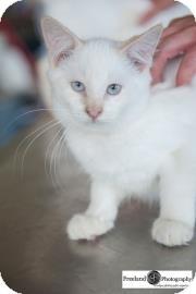 Siamese Kitten for adoption in Jackson, Michigan - Paul