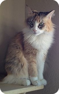 Domestic Longhair Cat for adoption in Fountain Hills, Arizona - GEM