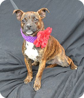 Chihuahua/Pug Mix Dog for adoption in Plano, Texas - Checkers
