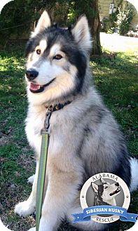 Siberian Husky Dog for adoption in Clay, Alabama - Nashoba