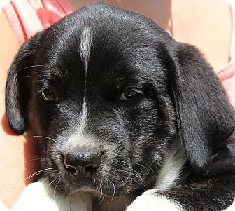 Labrador Retriever Mix Puppy for adoption in Chicago, Illinois - Bagel