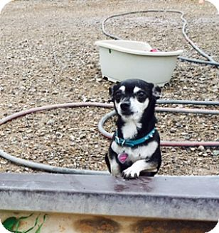 Chihuahua Mix Dog for adoption in Edgewood, New Mexico - Pepper