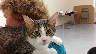 Domestic Shorthair Cat for adoption in San Jose, California - Stripey Love