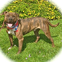 Mastiff/Boxer Mix Dog for adoption in Burbank, California - Handsome Smokey-VIDEO