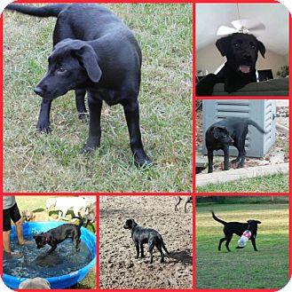Labrador Retriever/Golden Retriever Mix Puppy for adoption in Inverness, Florida - BELLA