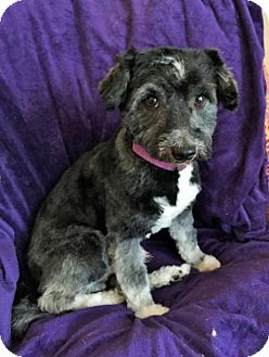 Poodle (Miniature) Mix Dog for adoption in Buffalo, New York - Frank