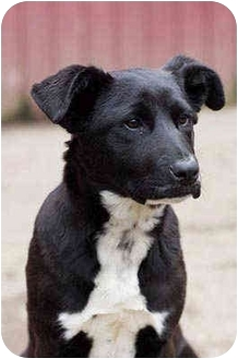 Labrador Retriever Mix Puppy for adoption in Portland, Oregon - Flora