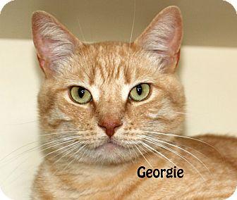 Domestic Shorthair Cat for adoption in Idaho Falls, Idaho - Georgie