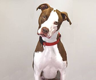 American Pit Bull Terrier Mix Dog for adoption in Farmington Hills, Michigan - Bandit