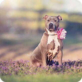 American Pit Bull Terrier Mix Dog for adoption in Wichita, Kansas - Jenny