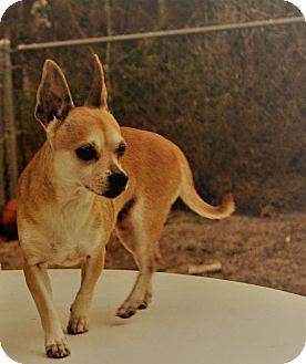 Chihuahua/Shiba Inu Mix Dog for adoption in Weeki Wachee, Florida - Jumper