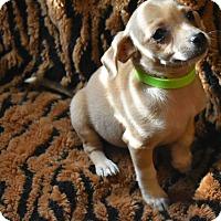 Adopt A Pet :: Laurel - North Brunswick, NJ
