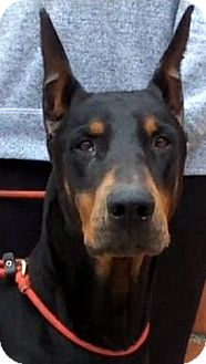 Doberman Pinscher Dog for adoption in Los Angeles, California - ZORRO (video)