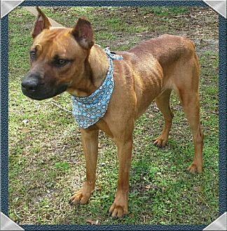 Boxer Mix Dog for adoption in Ocala, Florida - Buddy Buzz