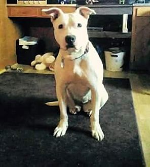 American Pit Bull Terrier Mix Dog for adoption in Charlotte, North Carolina - Penelope